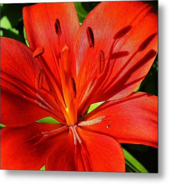 Red Asiatic Lily Metal Print by Bruce Bley