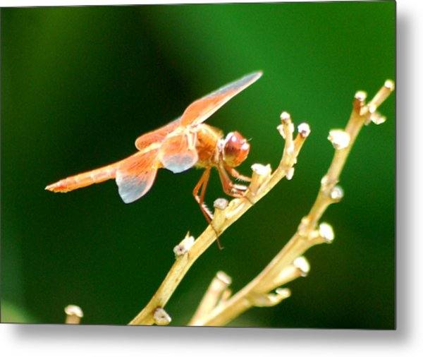 Red Dragonfly Metal Print by Meeli Sonn