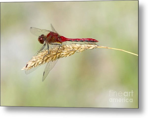 Red Dragonfly Metal Print by Sharon Talson