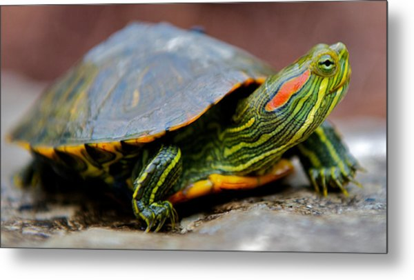 Red Eared Slider Turtle Side View Metal Print by Kelly Riccetti