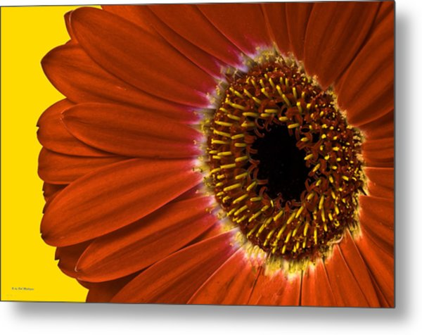 Red Gerber Daisy Metal Print by Bob Mulligan