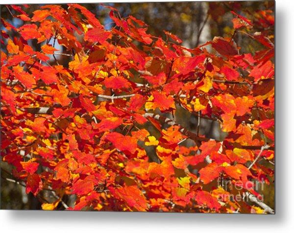 Red Leaves Metal Print by Charles  Ridgway