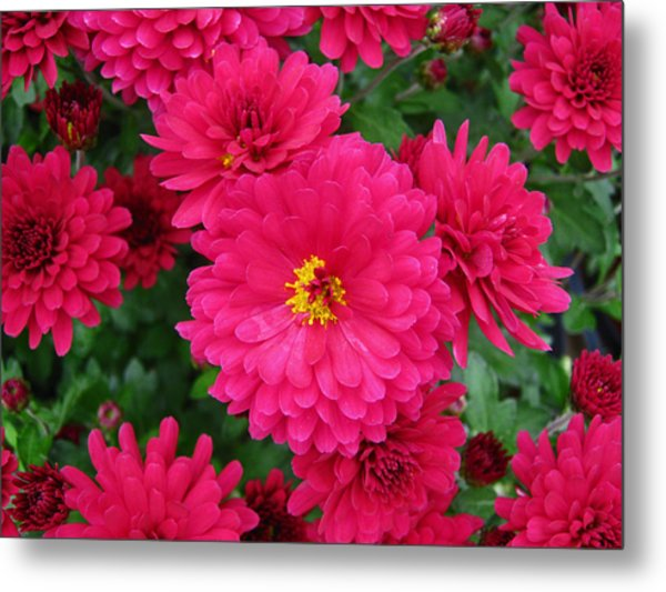 Red Mums Metal Print by Lucien Beauley