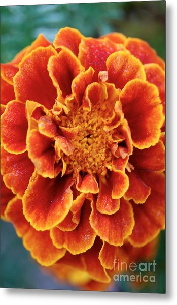 Red-orange Marigold Metal Print
