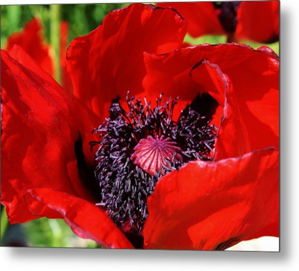 Red Poppy Close Up Metal Print