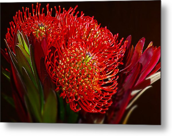 Red Protea Flower Metal Print by Michelle Armstrong