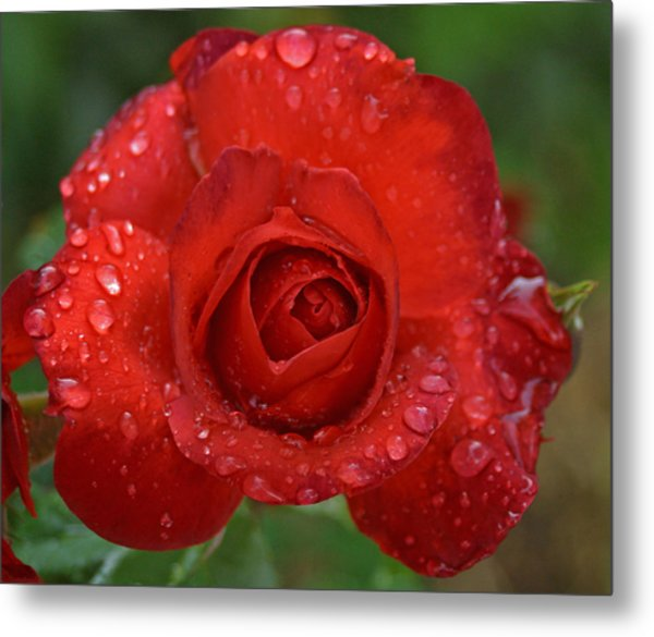 Red Red Rose Metal Print