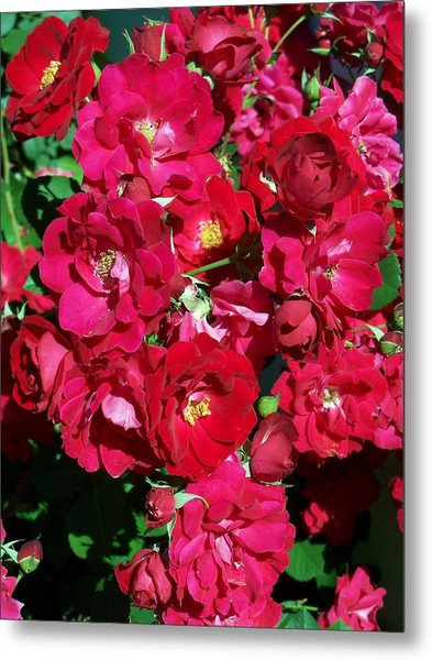 Red Rose Bush Metal Print