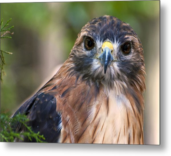 Metal Print featuring the photograph Florida Red Shoulder Hawk  by Donna Proctor
