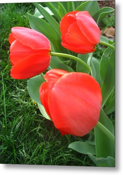 Red Spring Tulips Metal Print