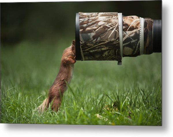Red Squirrel Inspecting A Camera Lens. Metal Print by Andy Astbury