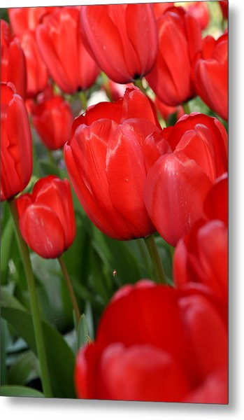 Red Tulips Close Up Metal Print