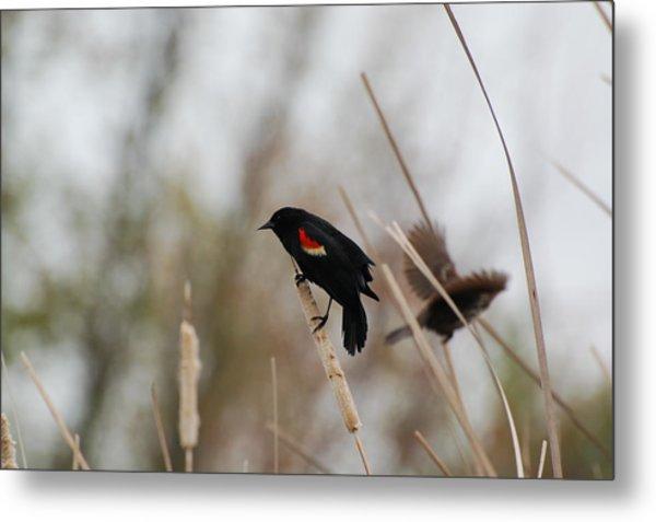 Red Winged Black Bird Metal Print