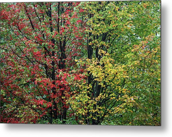 Red Yellow And Green Leaves Metal Print