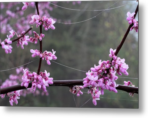 Redbud With Webs And Dew Metal Print