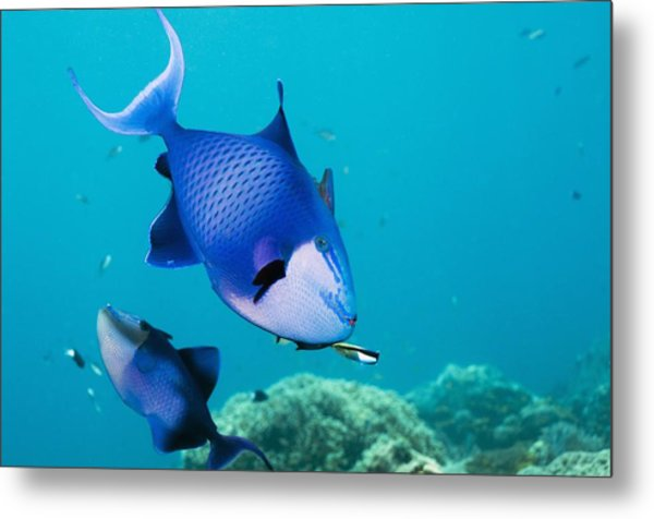 Redtoothed Triggerfish Metal Print by Georgette Douwma
