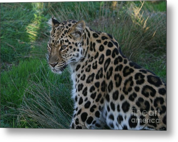 Relaxing Leopard Metal Print by Carol Wright