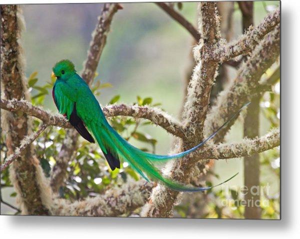 Resplendent Quetzal Metal Print