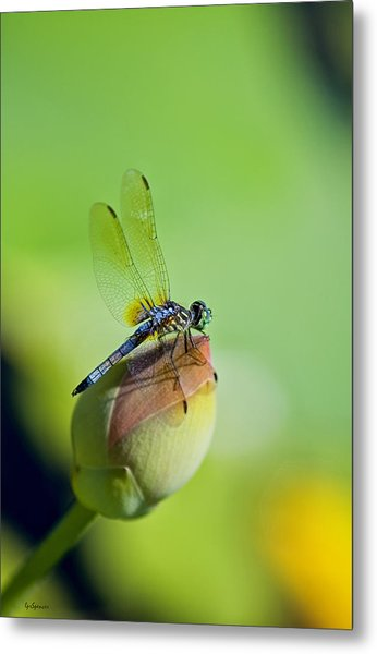 Resting On A Lily Metal Print
