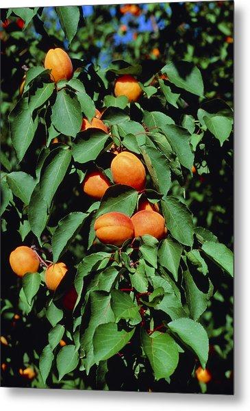 Ripe Apricots Growing On A Branch Metal Print by Kaj R. Svensson