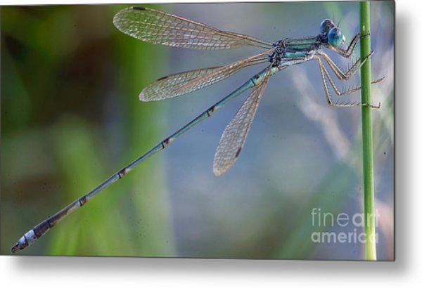 Riverjack Damselfly Metal Print