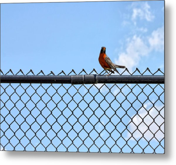 Robin Bird Sitting On A Fence Metal Print