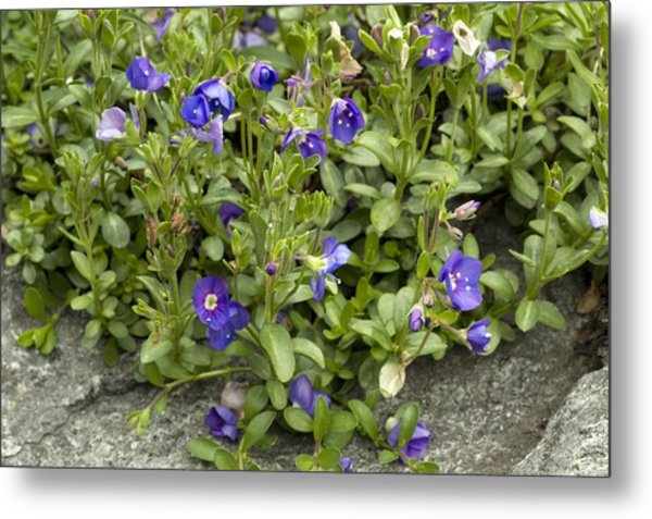 Rock Speedwell (veronica Fruticans) Metal Print by Bob Gibbons