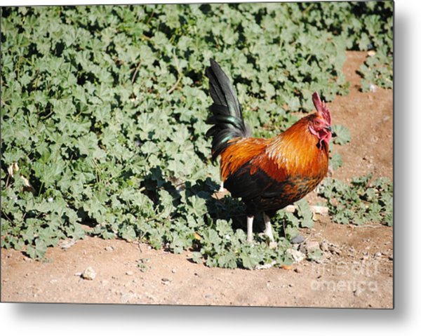 Rooster On The Edge  Metal Print by Rebbeca Alt
