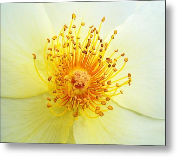 Rosa Golden Wings Metal Print