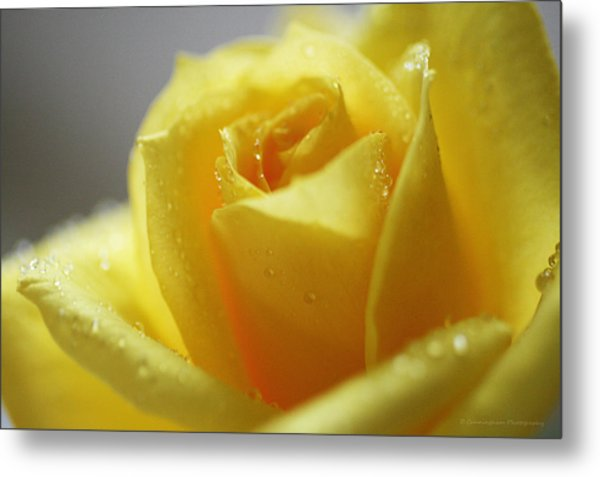 Rose After The Rain Metal Print