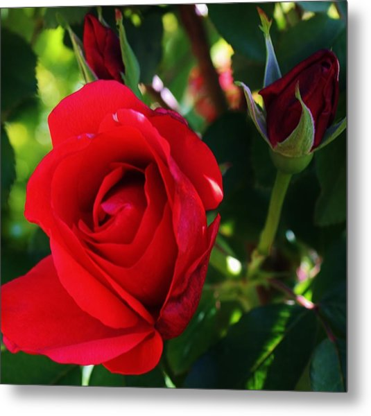 Rose Delight Metal Print by Bruce Bley