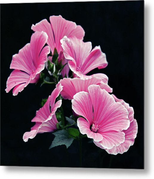 Rose Mallow Metal Print by Tanjica Perovic Photography