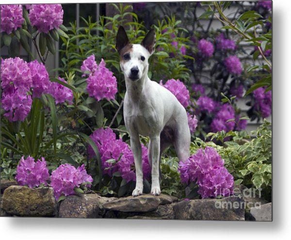 Ruby In The Garden Metal Print by Denise Dempster