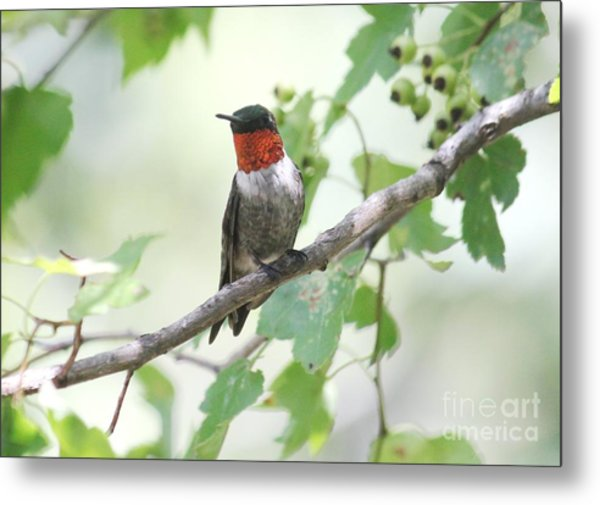 Ruby Throat Metal Print by Theresa Willingham