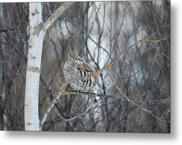 Ruffed Grouse Roosting Metal Print