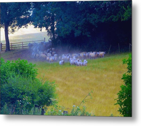 Running Of The Sheep Metal Print