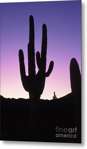 Saguro Cactus Metal Print by Barry Shaffer