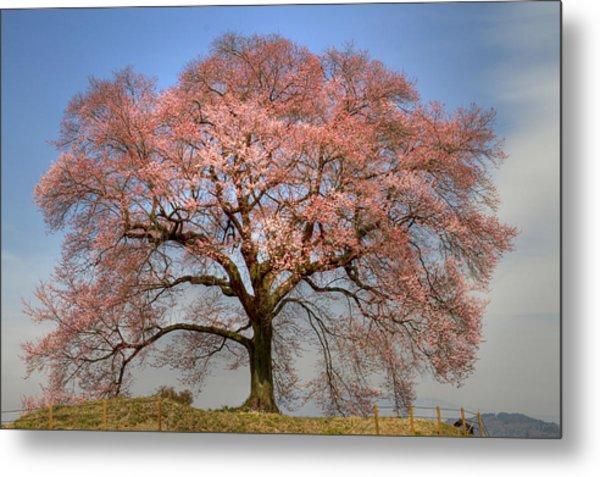 Sakura Sakura 1 Metal Print