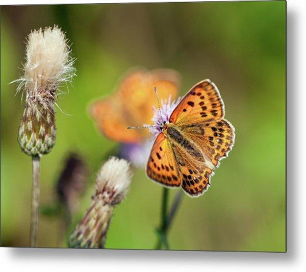 Scarce Copper Butterfly Metal Print