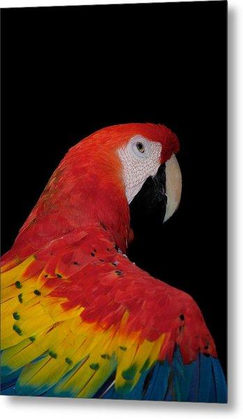 Scarlet Macaw Metal Print by C Thomas Willard