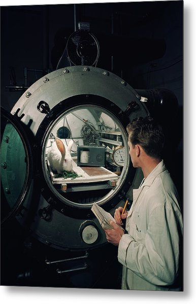 Scientist Observes A Rabbit, 1960s Metal Print by Archive Holdings Inc.
