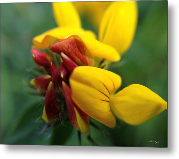 Scotch Broom Metal Print