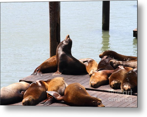Sea Lions At Pier 39 San Francisco California . 7d14314 Metal Print by Wingsdomain Art and Photography