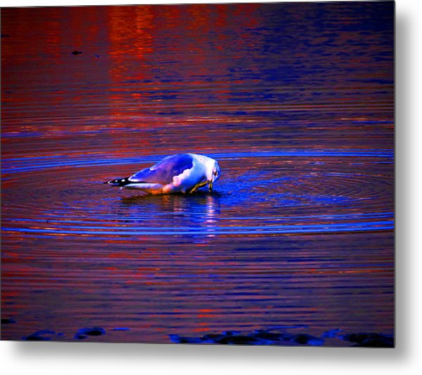 Seagull Bathing In Dramatic Light Metal Print by Catherine Natalia  Roche