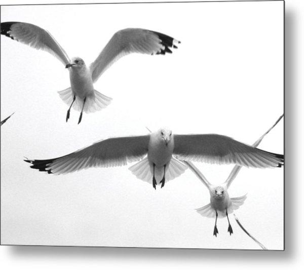 Seagulls Soaring Metal Print