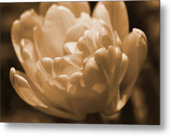 Sepia Tulip Frill Metal Print