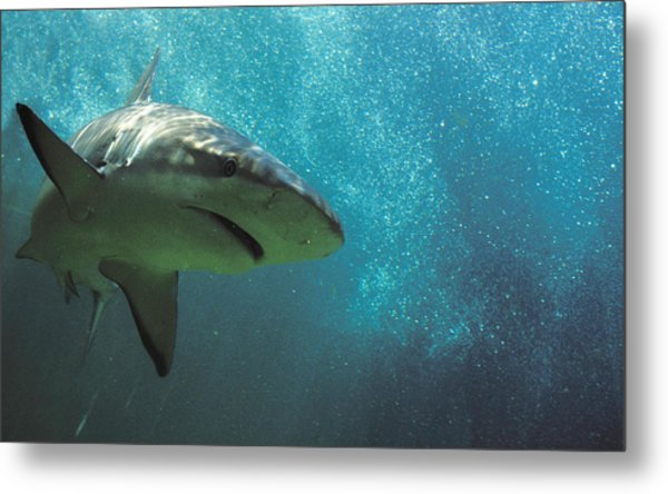 Shark Attack Metal Print by Carl Purcell