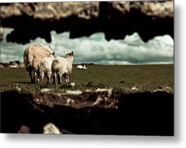 Sheep In The Wall Metal Print