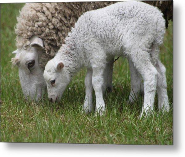 Sheep Mom And Lamb Grazing Metal Print
