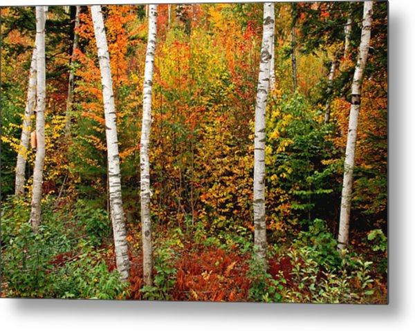 Shelburne Birches 2 Metal Print